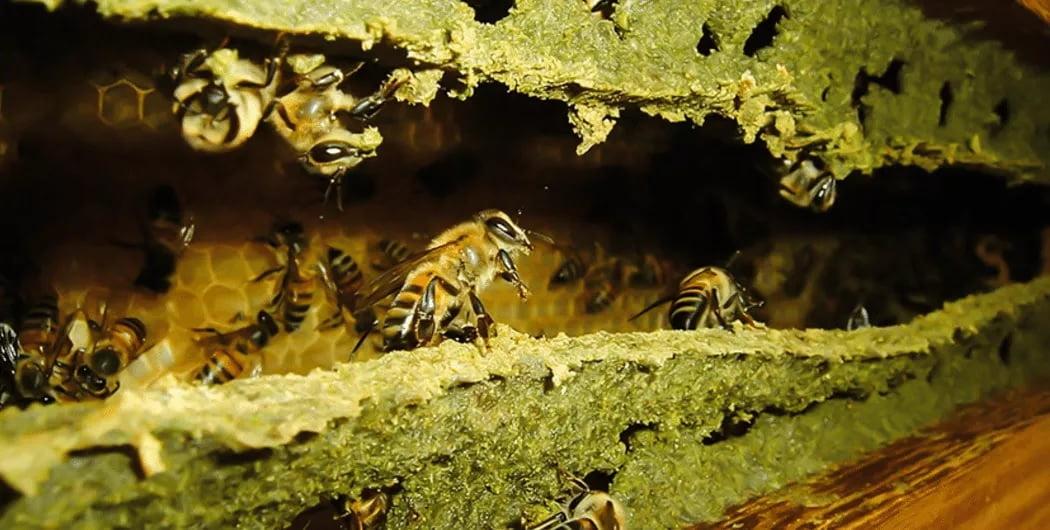 Própolis (Foto: https://biosom.com.br/blog/alimentacao/10-beneficios-de-propolis-para-saude/)