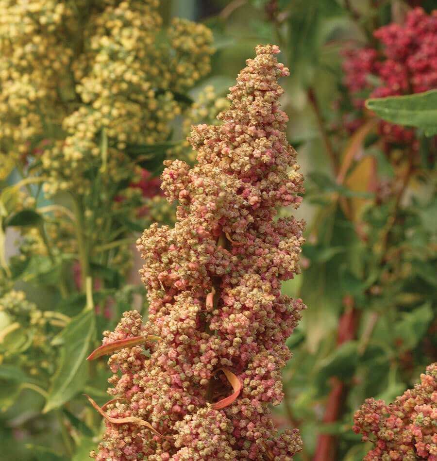Quinoa (foto fonte https://www.westcoastseeds.com/shop/vegetable-seeds/quinoa-seeds/brightest-brilliant-organic/)