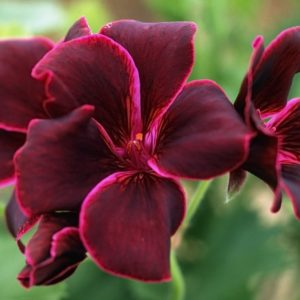 Gerânio (foto https://www.crocus.co.uk/plants/_/bruised-pelargonium-collection-containing-5-plants/classid.2000004681/