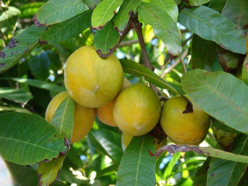 Canistel ( Foto: http://www.tudosobreplantas.com.br/)
