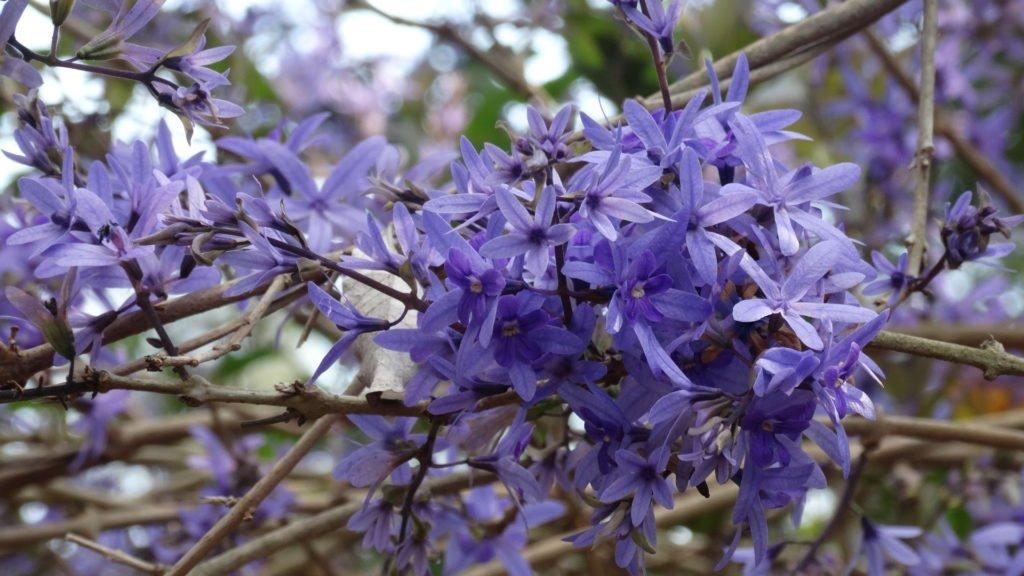 Flor de São Miguel (foto: Evandro Marques - www.coisasdaroca.com)