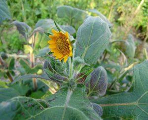 Flor da Batata Yacon (Foto Fonte hortas.info)