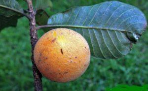 Guapeva (Foto fonte http://www.frutosatrativosdocerrado.bio.br/)
