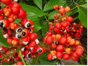 Guaraná (Foto fonte http://www.institutoamazonia.org.br/)