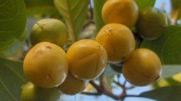 Murici (Foto fonte http://produto.mercadolivre.com.br/MLB-724321734-20-sementes-frutos-de-murici-doce-do-cerrado-verdadeiro-_JM