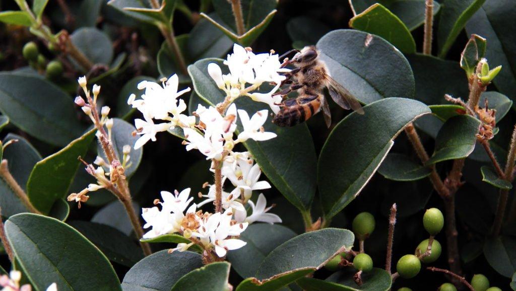 Abelha (foto: Evandro Marques - www.coisasdaroca.com)