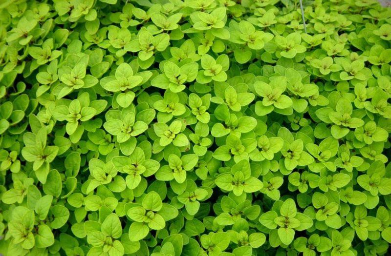 Orégano (Foto: https://blog.plantei.com.br/2015/08/11/como-cultivar-oregano/)
