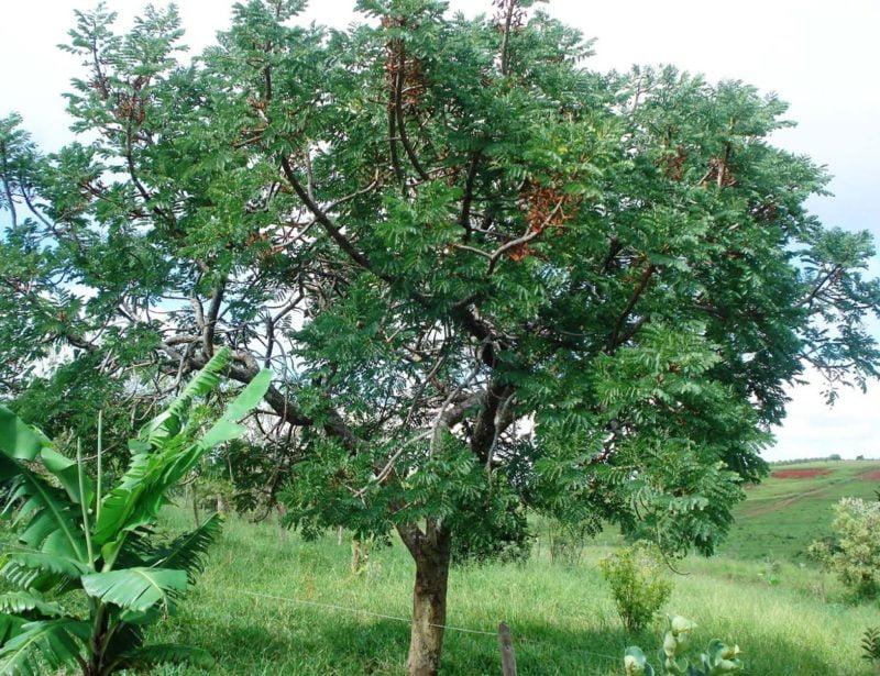Barbatimão (Foto: https://sementescaicara.bbshop.com.br/barbatimo)