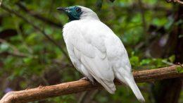 Araponga ( foto fonte http://sociedadedosanimais.blogspot.com.br/2016/06/araponga-uma-ave-que-imita-um-martelo.html)