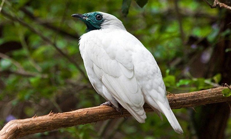 Araponga, pássaro de som estridente e colorido vibrante