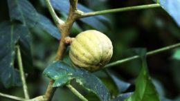 Assacu (foto fonte http://dicionarioportugues.org/pt/acacu)