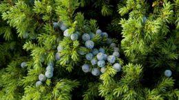 Zimbro ( foto fonte http://siaram.azores.gov.pt/flora/flora-vascular/cedro-do-mato/2.html)