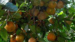 Limão-cravo (foto fonte http://produto.mercadolivre.com.br/MLB-757260219-50-sementes-de-limao-rosa-limao-cravo-com-garantia-_JM)