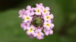 Lippia Alba (foto fonte https://garden.org/plants/view/83023/Bushy-lippia-Lippia-alba/)