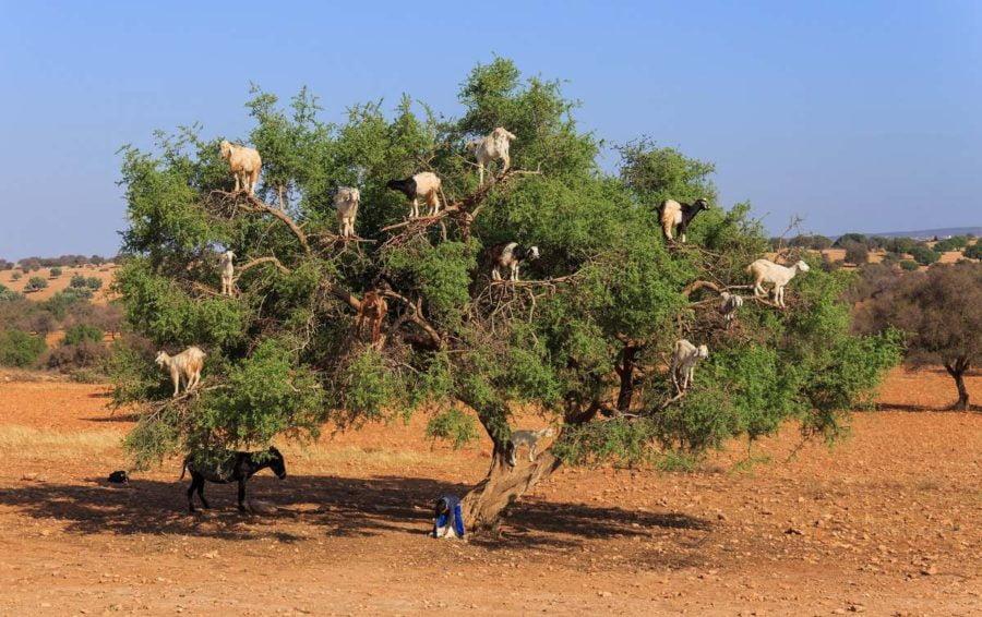 Argânia ( foto fonte https://produto.mercadolivre.com.br/MLB-715789162-1-semente-argan-argania-spinosa-ouro-do-marrocos-exotica-_JM)