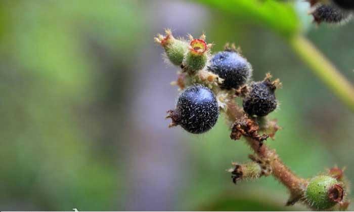 Pixirica ( foto fonte http://frutosatrativosdocerrado.bio.br/76-especies/30-frutos-pequenos/146-erva-de-jabuti)