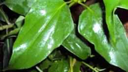 Guaco ( foto fonte https://www.quimicalimentar.com.br/uso-terapeutico-do-guaco-suas-propriedades-sao-eficazes-contra-asma-resfriados-febres-e-muito-mais/)