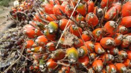 Dendê ( foto fonte http://suamidosun.blogspot.com.br/2012/02/dendezeiro.html)