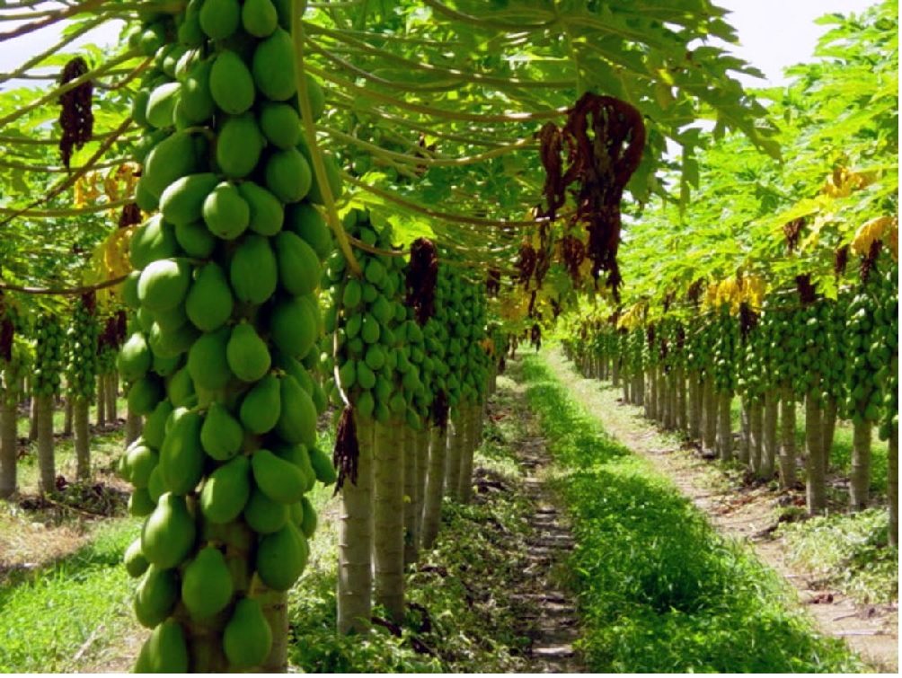 Lavoura de Mamão ( foto fonte http://www.lideragronomia.com.br/2012/07/mamao.html)