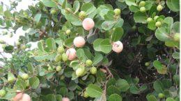 Abajeru ( foto fonte http://www.westafricanplants.senckenberg.de/root/index.php?page_id=14&id=346)