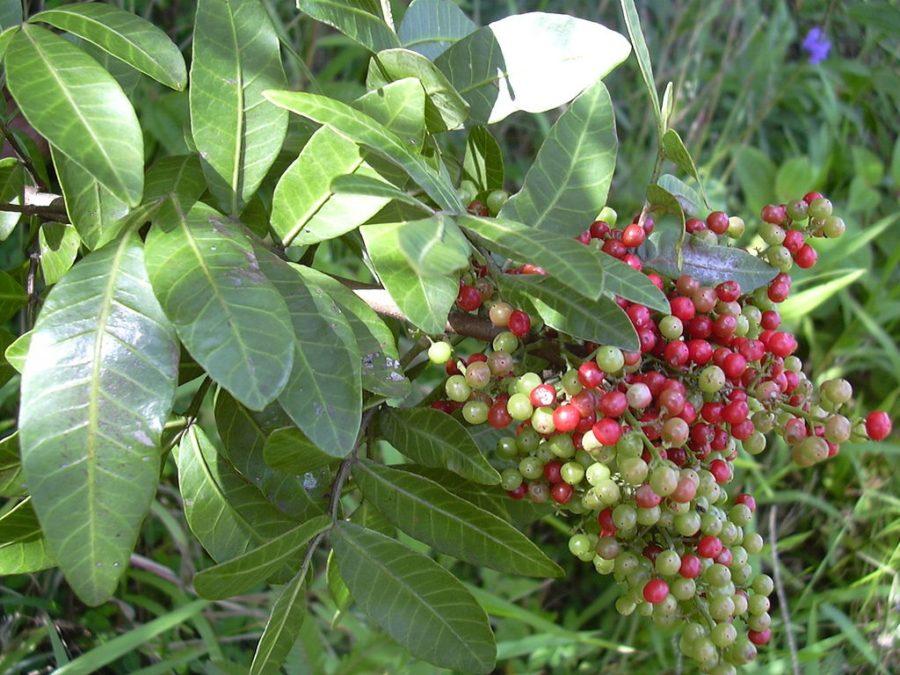 Aroeira ( foto fonte http://engenhariaplantas.blogspot.com.br/2014/06/aroeira-medicinal-ou-condimentar-por.html)