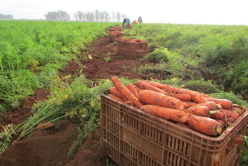 Cenoura ( foto fonte http://agristar.com.br/superseed/noticia/detalhe/cenoura-erica-f1-producao-de-cenouras-dobra-com-hibridos-e-areas-tecnificadas)
