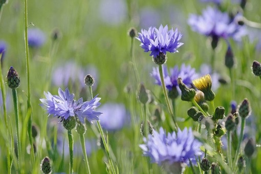 Centaurea (foto https://wildseed.co.uk/species/view/6)