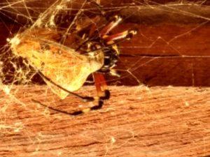 Aranha e sua presa