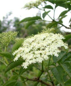Sabugueiro (foto http://www.plant-identification.co.uk/skye/caprifoliaceae/sambucus-nigra.htm)