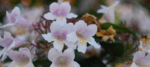Abelia (foto https://jb.utad.pt/especie/Abelia_x_grandiflora#imagem-8982)