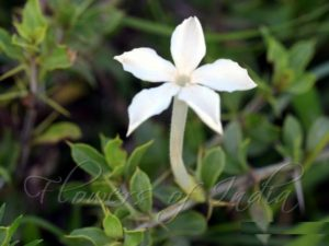 Barleria (foto https://www.flowersofindia.net/catalog/slides/Night-Blooming%20Barleria.html)