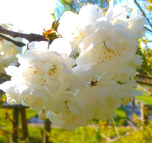 Flor da Cereja (foto https://www.botanicaplantnursery.co.uk/prunus-avium-flore-plena-7627-p.html)