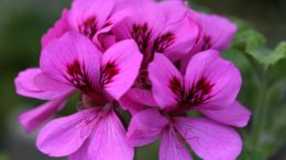 Gerânio ( foto //www.woottensplants.com/plant-shop/pelargonium/pelargonium-purple-unique/)