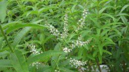Limonete (foto http://beechdale.ie/Aloysia-triphylla-110007506/)
