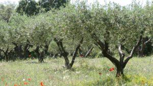 Oliveira (foto http://powo.science.kew.org/taxon/urn:lsid:ipni.org:names:610675-1)