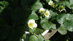 Flor do Morango