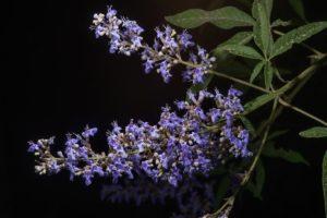 Agnocasto (foto http://www.floraofqatar.com)