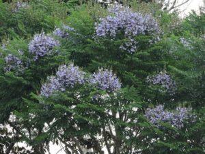 Caroba (foto http://qplantaeessa.blogspot.com)