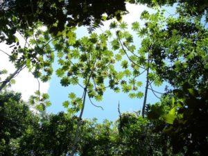 Embaúba (foto http://www.cluny.com.br/?page_id=7485)