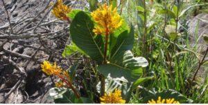 Congonha (foto https://www.medicinanatural.com.br)