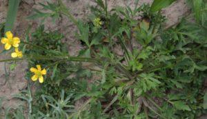Erva Ciática (foto http://science.halleyhosting.com)