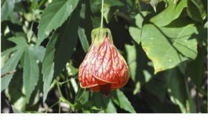 Flor de Sino