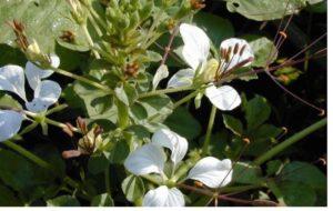 Flor de Aranha Africana