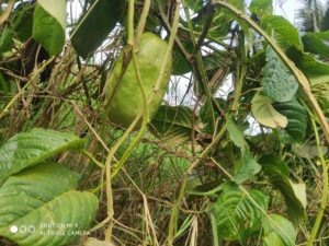 Maracujá-melão