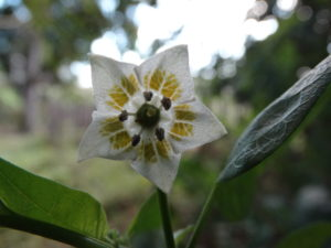 Flor Pimenta Cereja