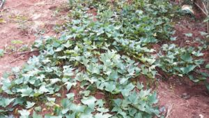 Folha batata-doce